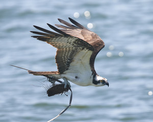 Osprey in Flight with Nest Materials