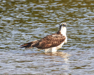 Osprey Wading in the Bay