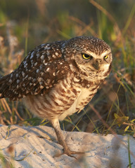 Burrowing Owl Looking Angry