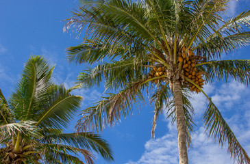 Dois coqueiros