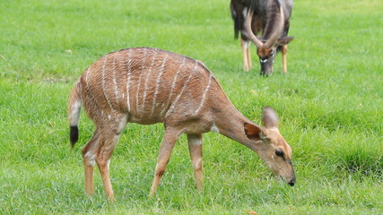 Sika deer fawn eating grass
