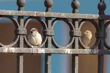 two curious sparrow