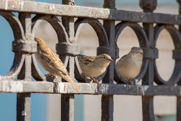 Three sparrow on iron fence