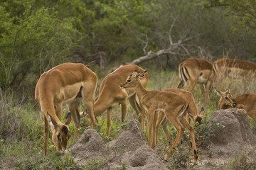 herd of impalas in the bush, Kruger, South Africa