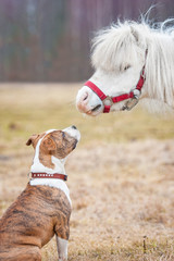 American staffordshire terrier puppy looking at  little pony