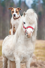 American staffordshire terrier dog riding little shetland pony