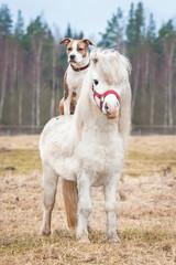 American staffordshire terrier dog riding little shetland pony