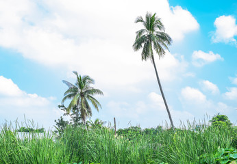 Field of lotus leaves and coconut tree,landscape background