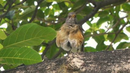 Robin Bird Singing On Branch