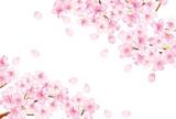 sakura_fuwari_syou_siro - 80434717