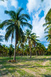 Coconut trees with blue sky background.