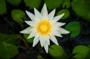 White Lotus flower beautiful lotus.