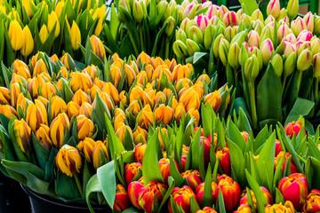 Frische Tulpen