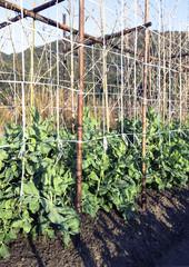 えんどう豆の畑