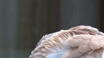 Taube bei der Gefiederpflege