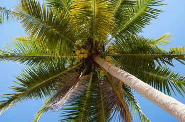 Coconut Tree In The Sunlight.