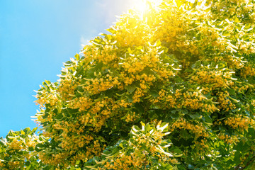 Blooming linden branches