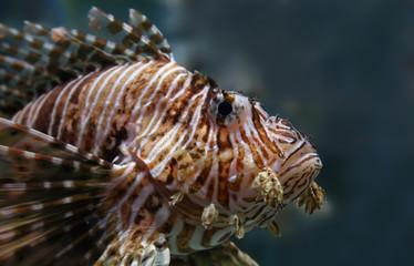 Portrait view of a common lionfish (Pterois miles)