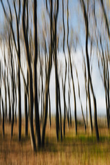 Blurred motion. Maple trees in autumn, moving in the breeze.
