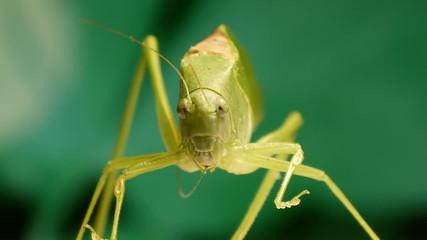 Grasshopper Grooming Antennae