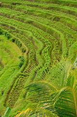 Indonesia, Bali, Rice terraces