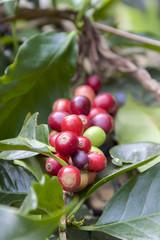 Fresh red coffee bean