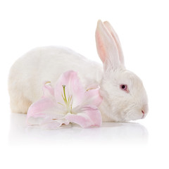 White rabbit and white-pink lily.