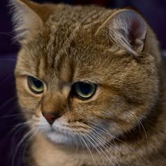 scottish cat snout