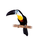 Channel-billed toucan isolated on white
