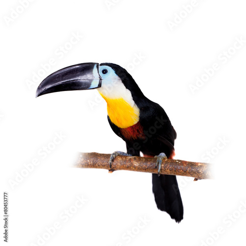 In de dag Toekan Channel-billed toucan isolated on white
