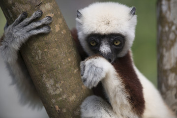 Sifaka lemur on a tree