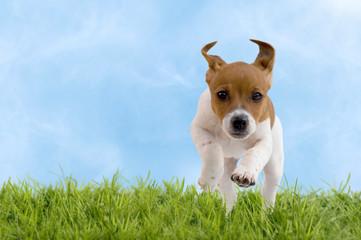 Jack Russell Terrier Welpe springt über Wiese