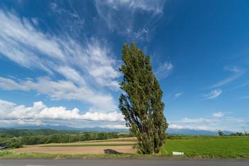 北海道 美瑛 ケンとメリーの木