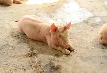 Thai stlye commercial pig farm