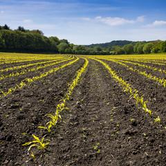 Junge Maispflanzen im Feld