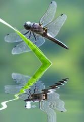 la libellule gomphidae
