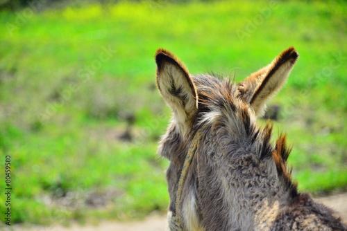 Papiers peints Ane Donkey