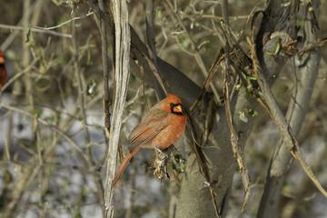 Northern red cardinal bird. ( cardinalidae)