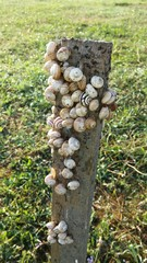 Small snails on a stake