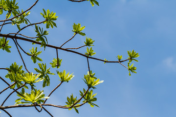 First leaves on tree in spring