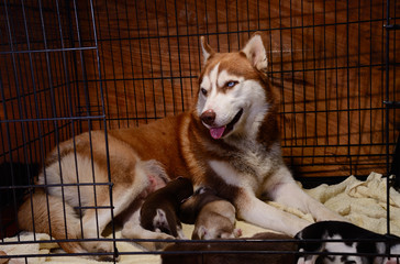 siberian husky feeding puppy in cage