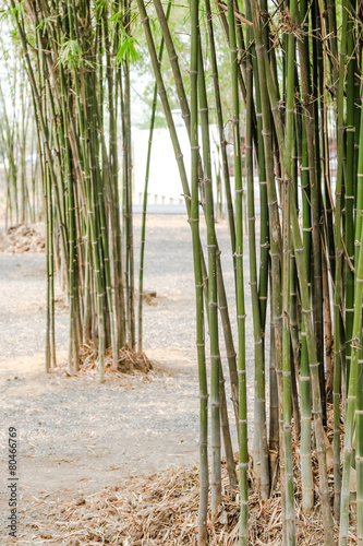 Foto op Canvas Bamboo bamboo tree