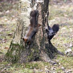 Squirrel games.