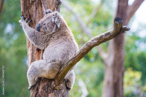 Papiers peints Koala Close up of koala at sanctuary in Australia