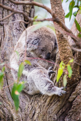 Close up of koala at sanctuary in Australia
