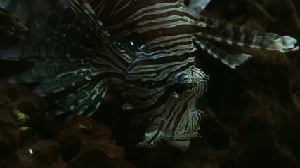 Floating Graceful Luxurious Lionfish 3