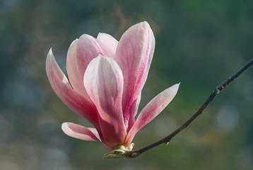 Flower of Magnolia soulangeana