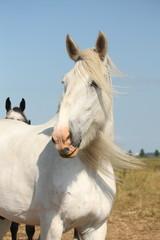 Beautiful white shire horse portrait in rural area