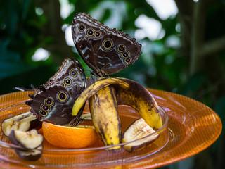 Schmetterlinge machen sich über Obstteller her