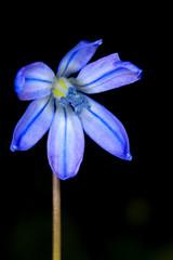 First spring flower, Scilla Bifolia